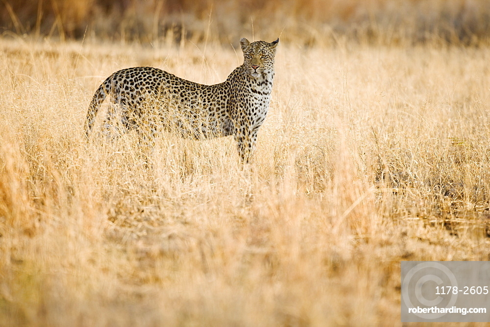 Leopard standing in grass