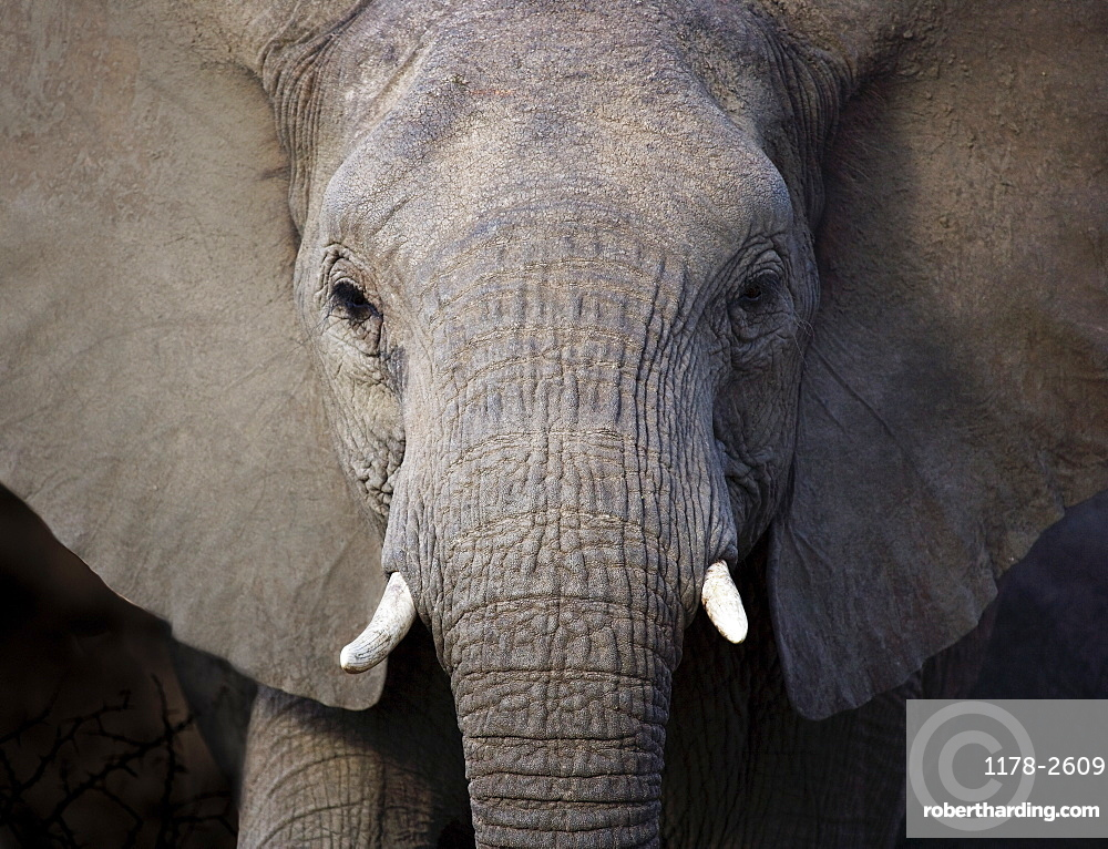 Close up of elephant