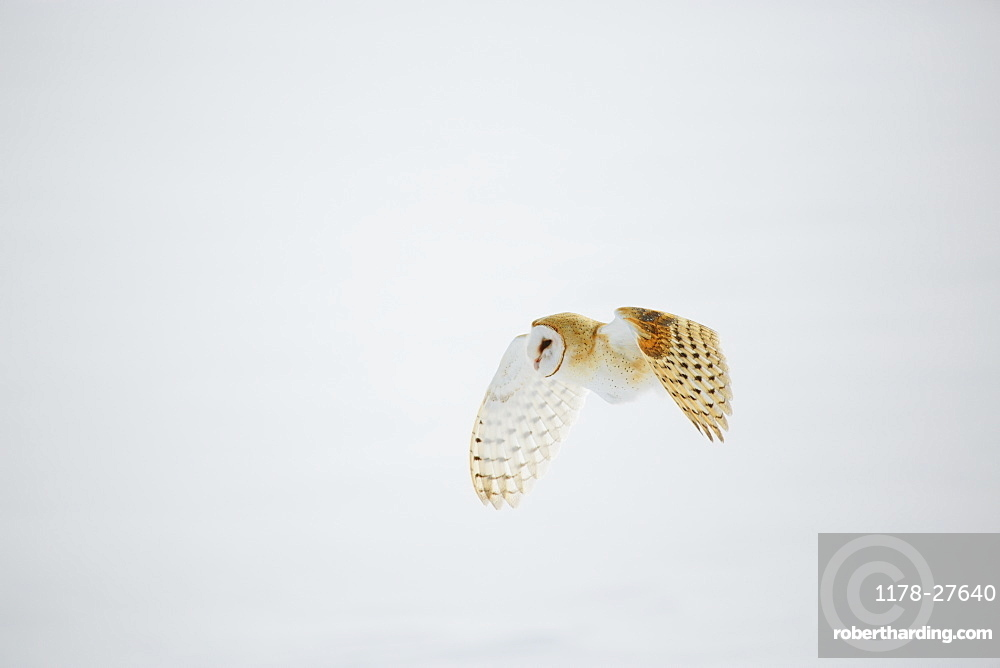 Barn owl in flight over snow