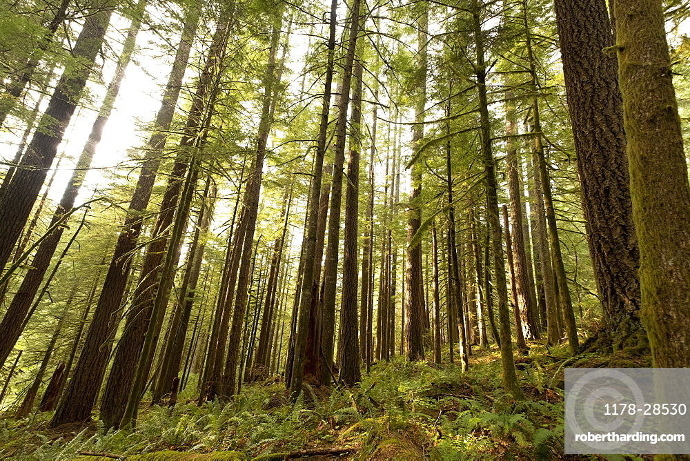Pine trees in Mount Hood National Forest, Oregon