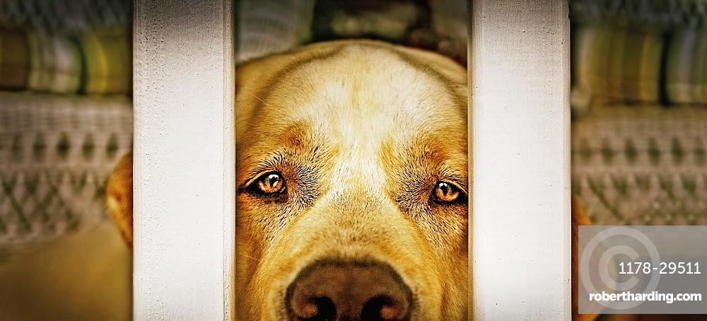 Labrador Retriever looking through balustrade
