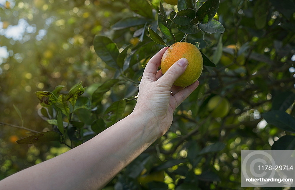 Woman picking up orange from a tree