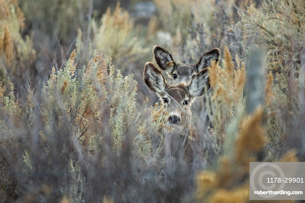 Two deer looking at camera hiding in tall grass