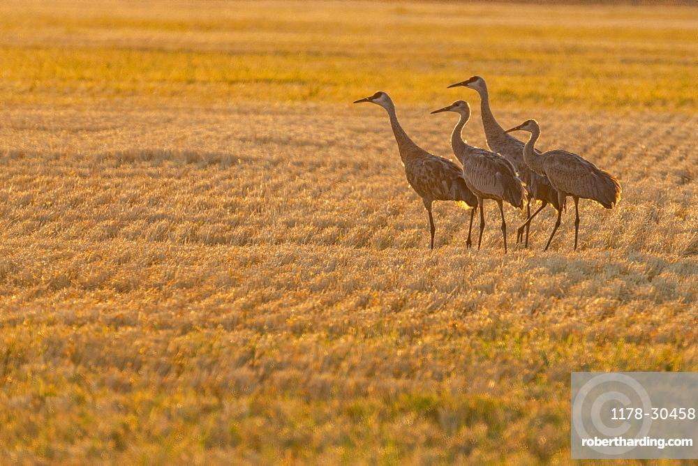 USA, Idaho, Bellevue, Sandhill cranes (Antigone canadensis) in stubble field