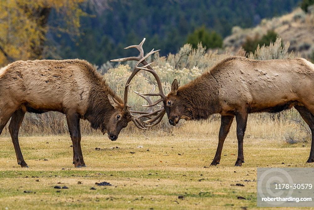 USA, Wyoming, Yellowstone National Park, Elk (Cervus elaphus) bulls in sparring duel for dominance in Yellowstone National Park