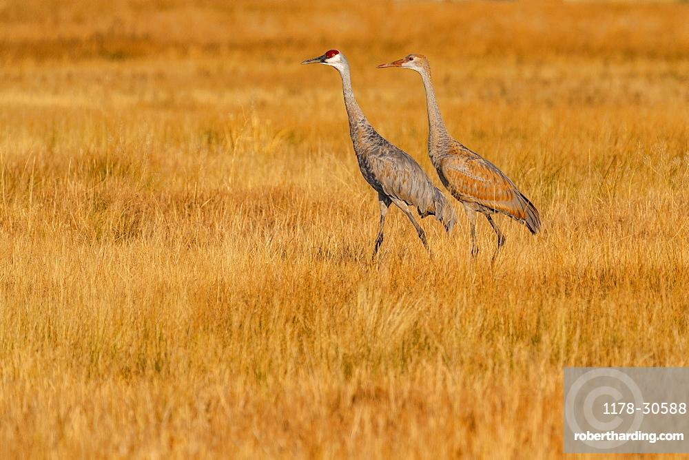 USA, Idaho, Bellevue, Sandhill Cranes (Antigone canadensis) walking in grass
