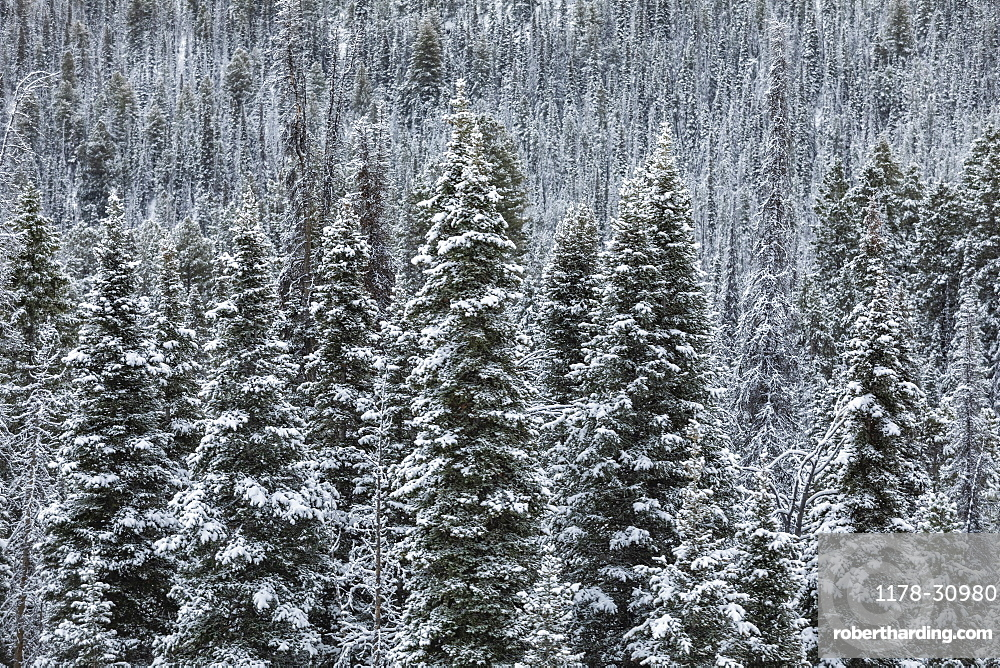 United States, Idaho,Sun Valley, Pine tress in forest in winter