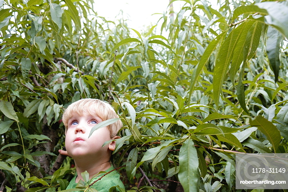 Portrait of boy looking up from peach trees on fruit farm