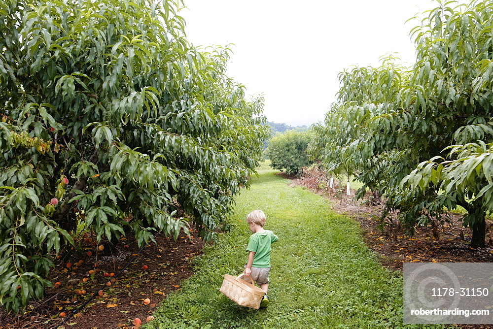 Rear view of boy searching between peach trees on fruit farm