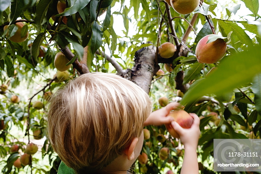 Rear view of boy picking peach from tree on fruit farm
