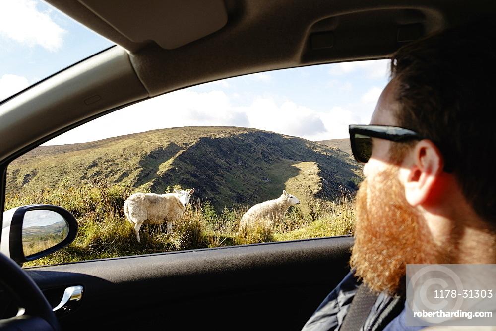 Mid adult man looking at sheep through car window