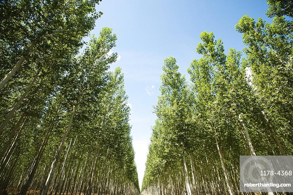 USA, Oregon, Boardman, Orderly rows of poplar trees in tree farm
