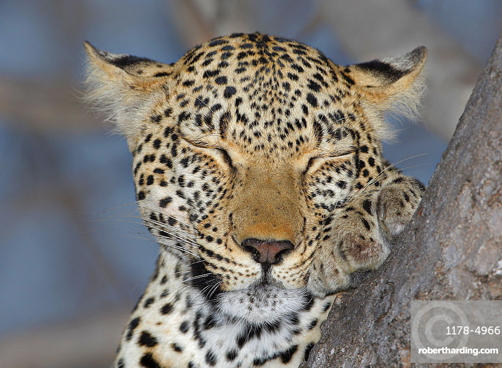 Close up of Leopard sleeping, Greater Kruger National Park, South Africa