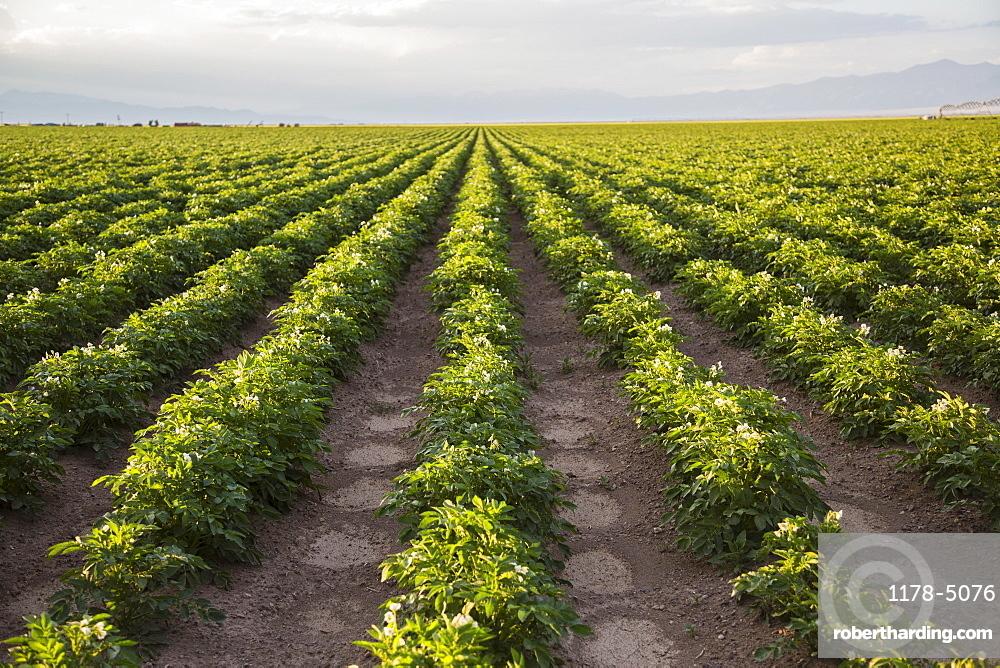 Rows of potato plants, Colorado, USA