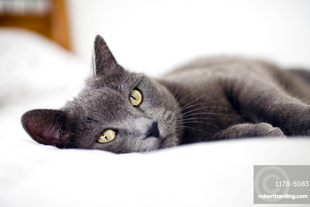 Close-up of gray cat