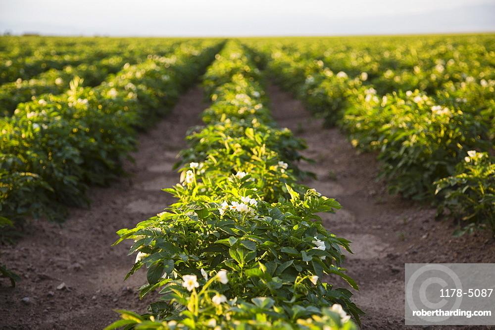 Field of potatoes, Colorado, USA