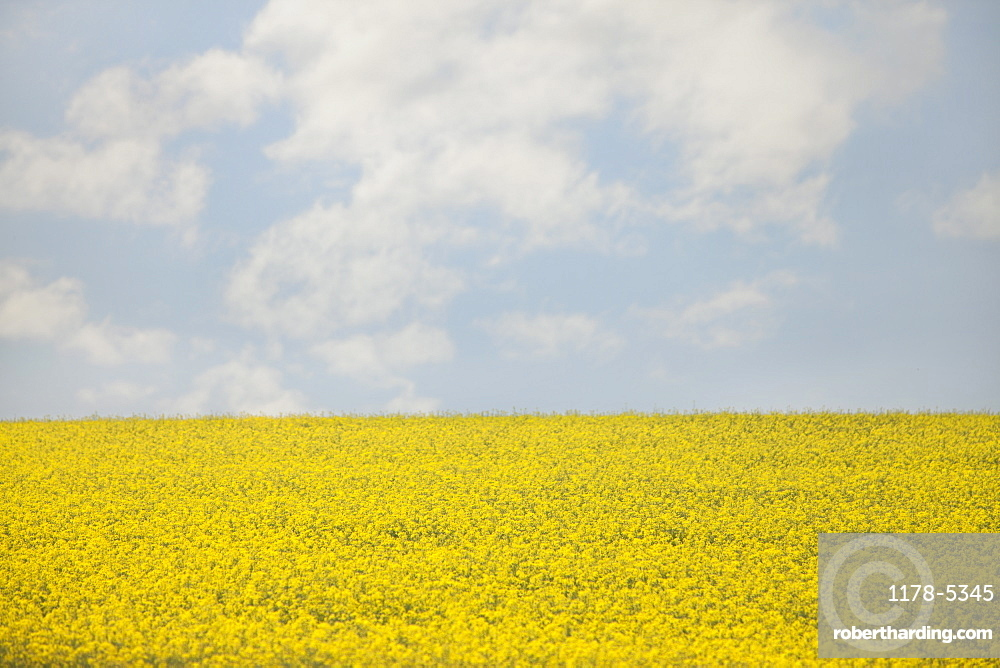 France, Rocroi, Field of blooming rape, France, Rocroi