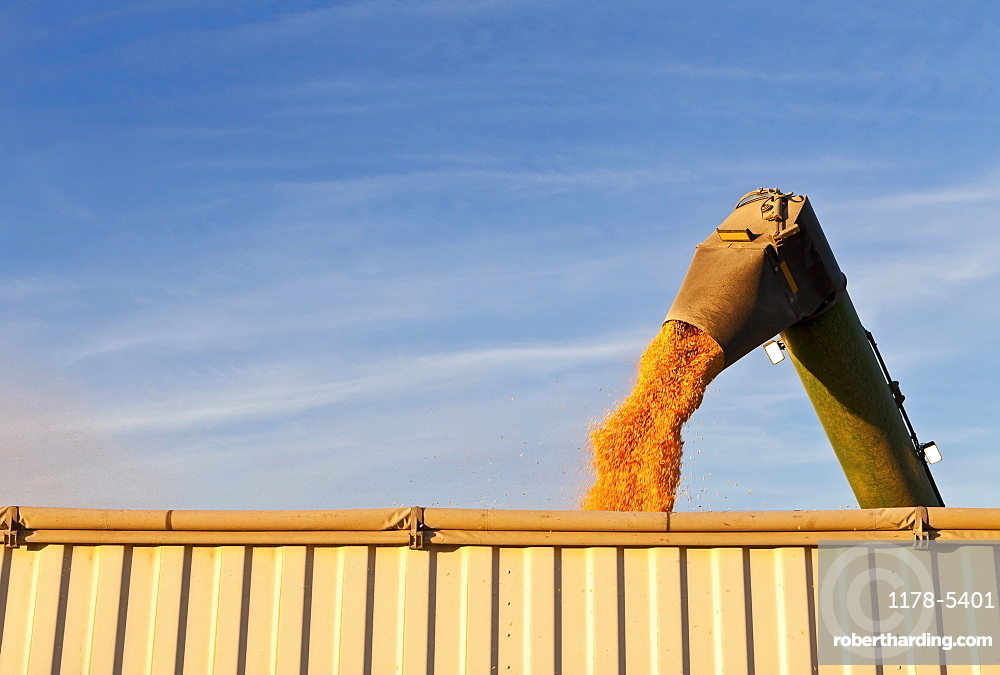 Combine harvester harvesting corn