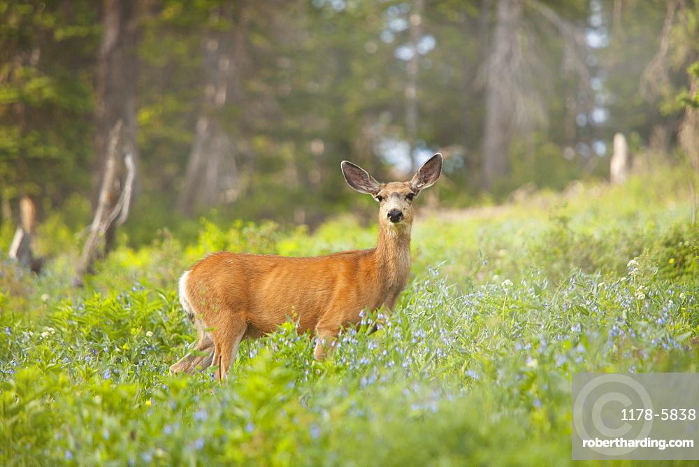 Mule Deer (Odocoileus hemionus) in meadow