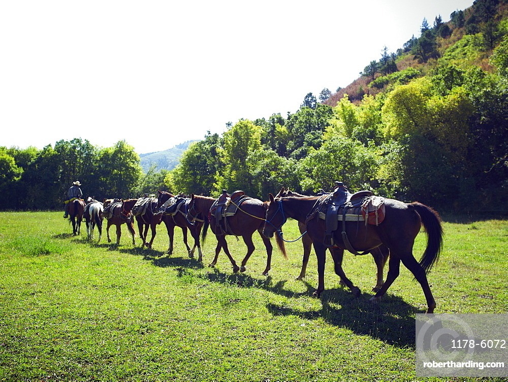 Horses walking in a line