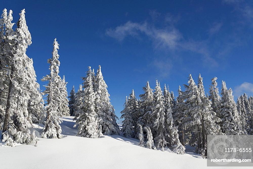 Snowcapped coniferous trees on hill, Oregon