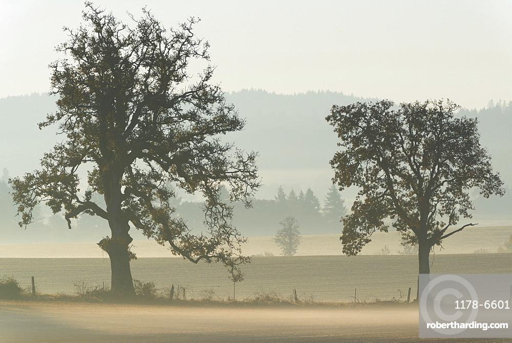 Oak trees on foggy day, Marion County, Oregon
