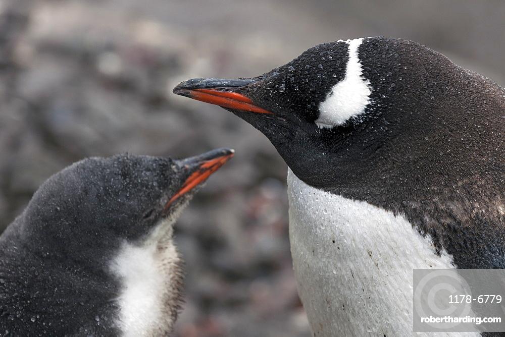 Close up of Gentoo Penguin with young, Antarctica, Antarctic Peninsula