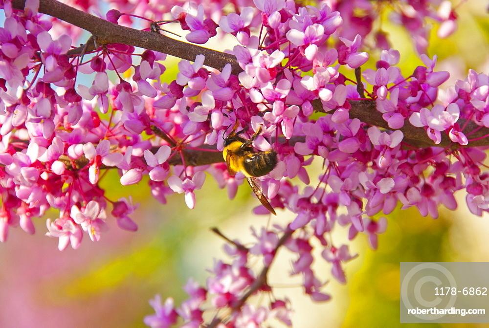 Canadensis blossom