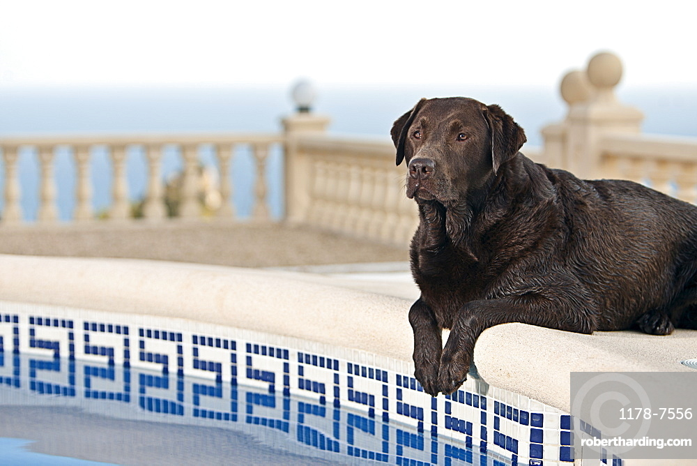 Chocolate Labrador by Pool