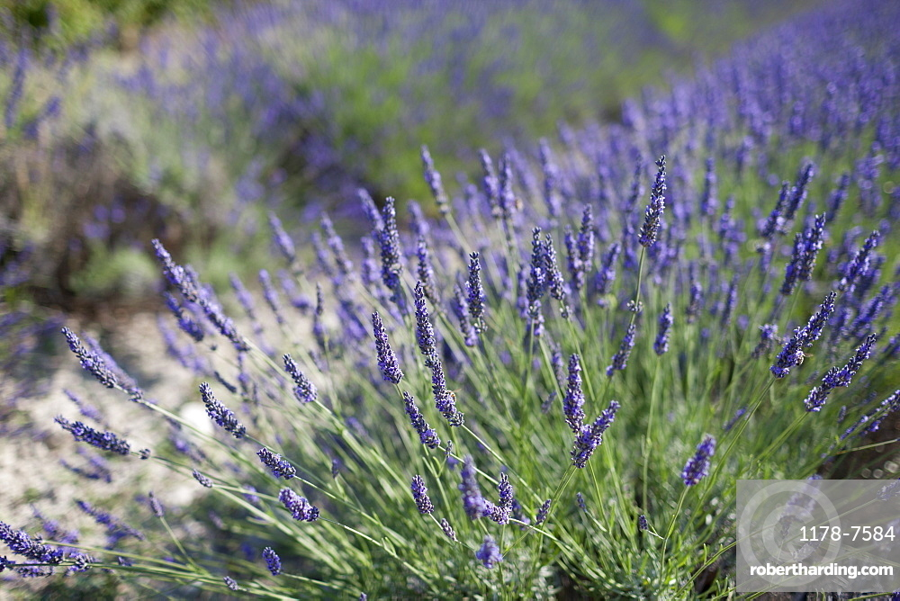 Close-up of lavender in field