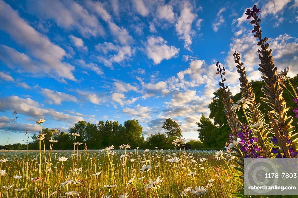 USA, Oregon, Marion County, Meadow with wildflowers at sunset
