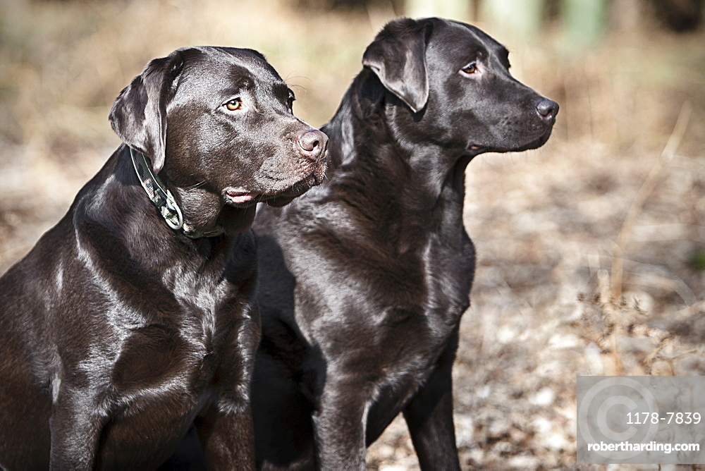 Black Labrador pair with shiny coat