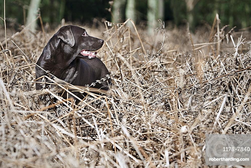 Black Labrador in thorns