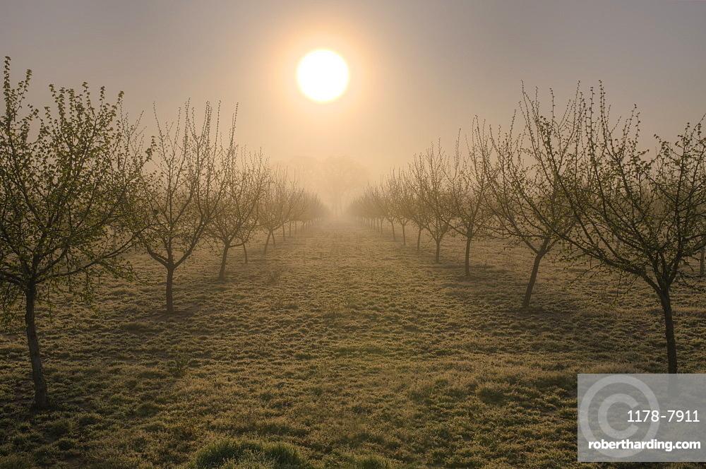 USA, Oregon, Marion County, Hazelnut orchard