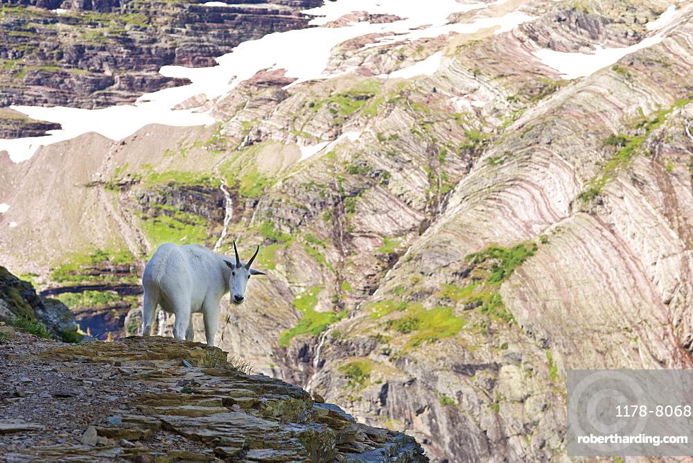 USA, Montana, Glacier National Park, Mountain goat looking at camera