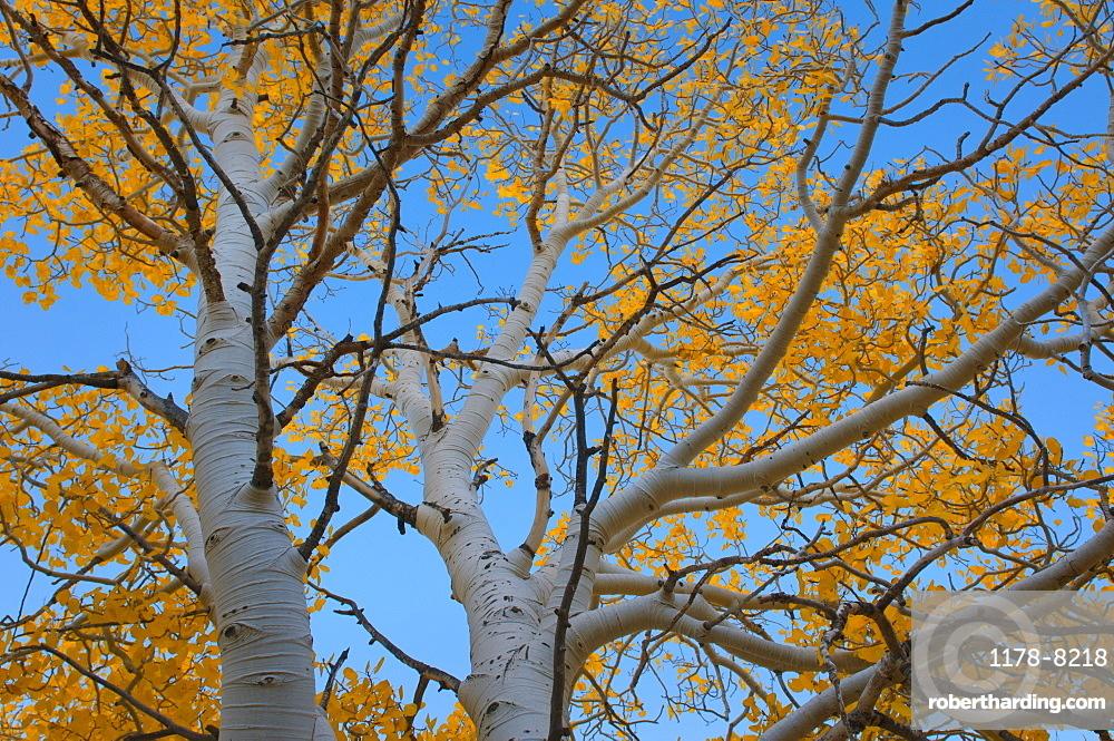 USA, California, Mono County, Aspen tree against clear sky