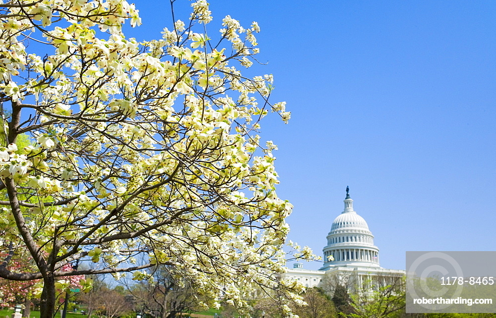 Dogwood tree with Capitol building in background