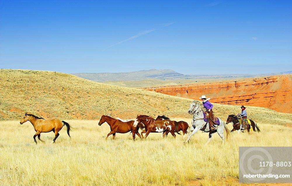 Cowboys herding horses