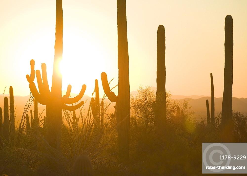 Sun setting behind cactus plants, Saguaro National Park, Arizona