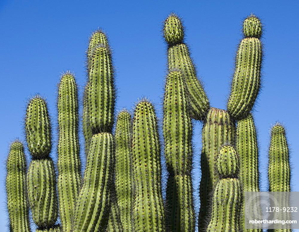 Organ Pipe Cactus against blue sky