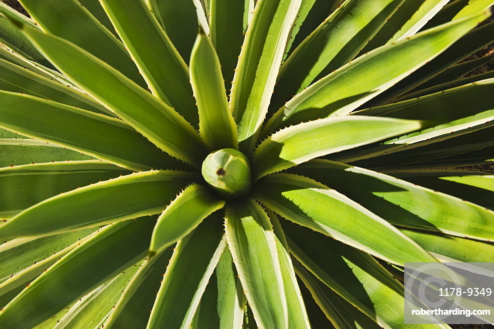 Close up of agave cactus plant