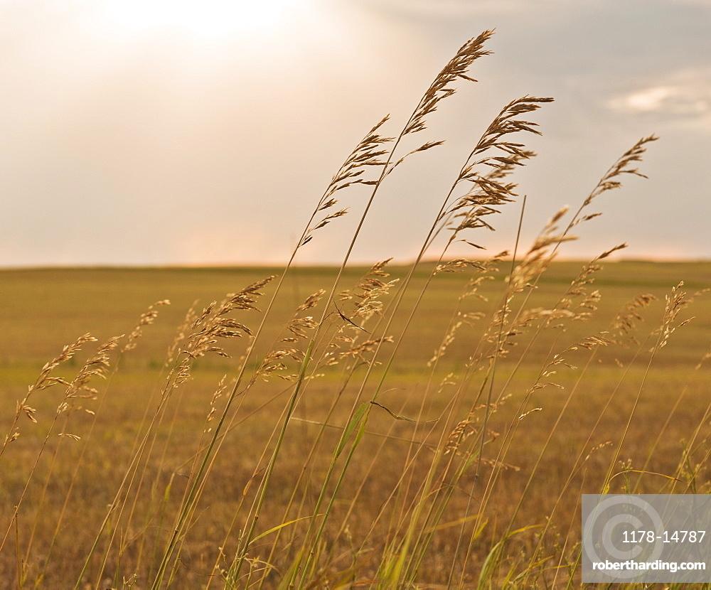 Buffalo Gap National Grasslands, Grass on field