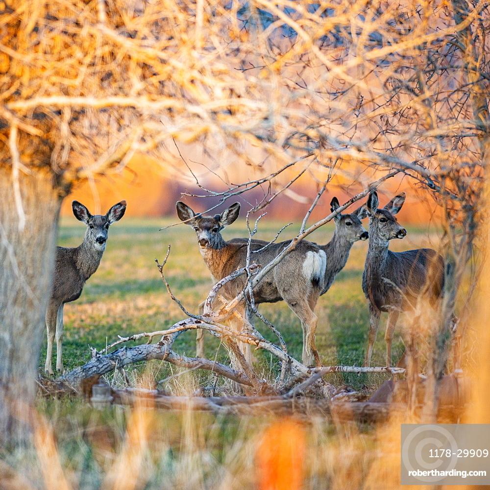 USA, Idaho, Picabo, Herd of deer in field