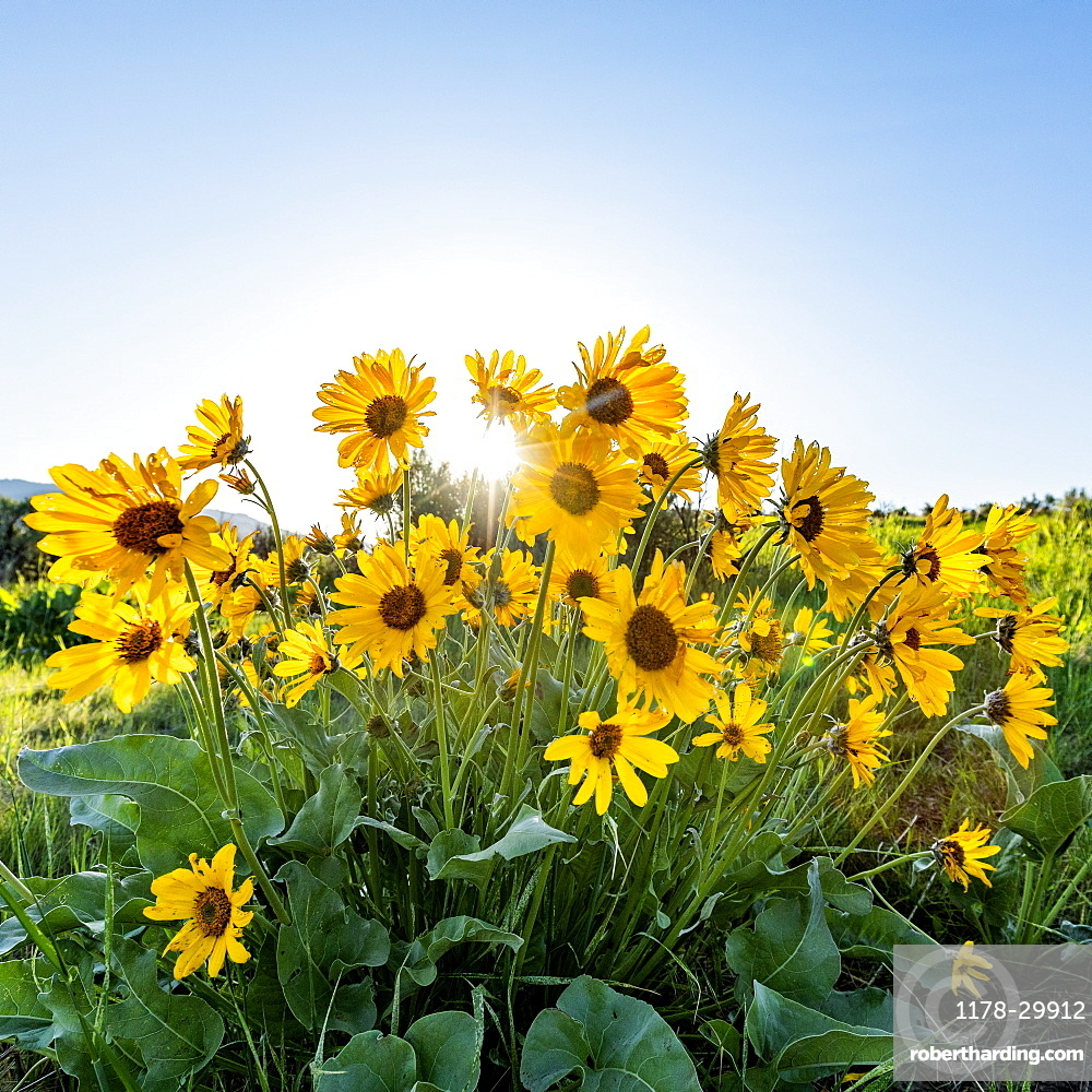 USA, Idaho, Boise, Arrowleaf Balsamroot in bloom