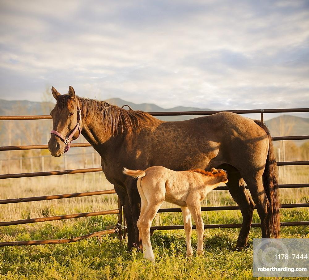 USA, Utah, Lehi, Foal with mother