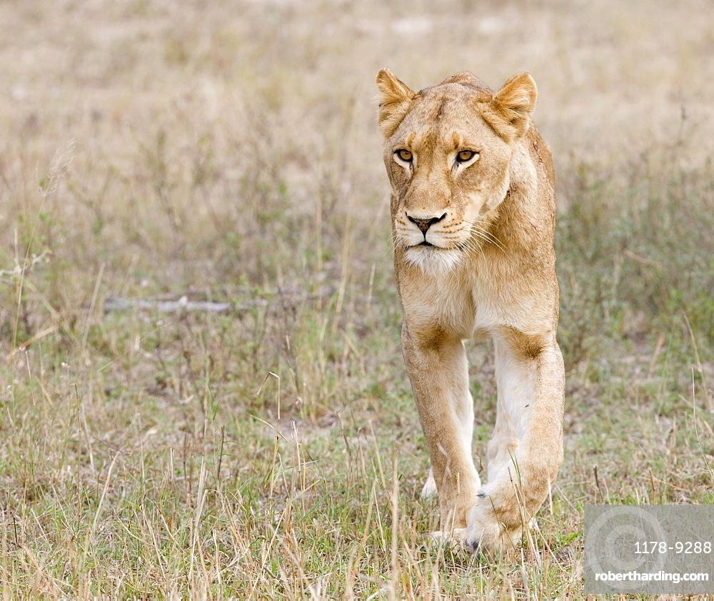 Female lion walking in field