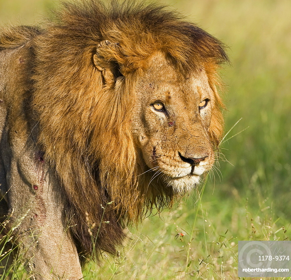 Close up of male lion, Greater Kruger National Park, South Africa