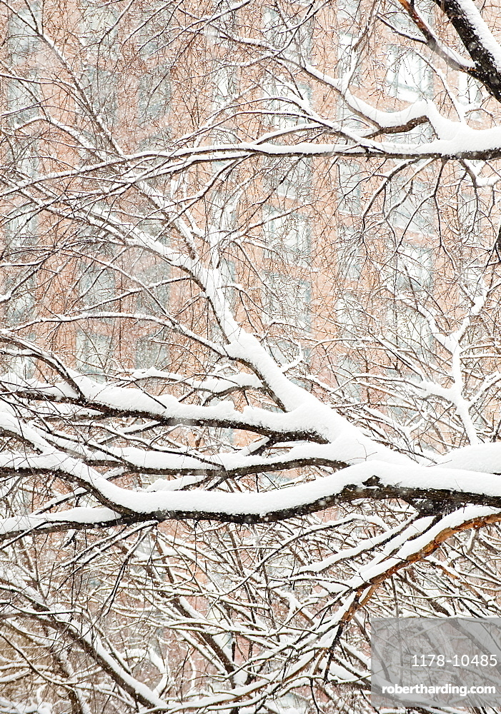 Snow covered tree branches, apartment building in background