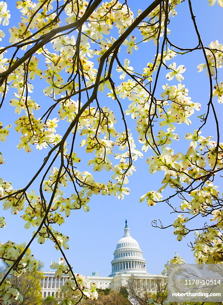 Dogwood branches with Capitol building in background
