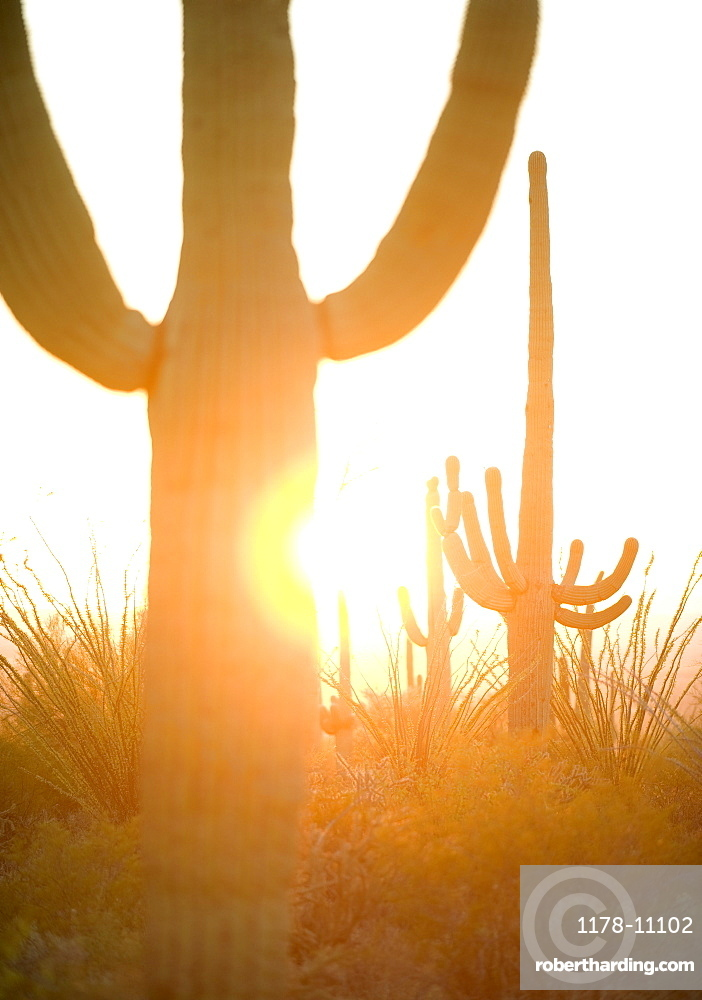 Sun shining behind cactus, Saguaro National Park, Arizona